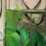 テナガエビ飼育での水替えはどうする?