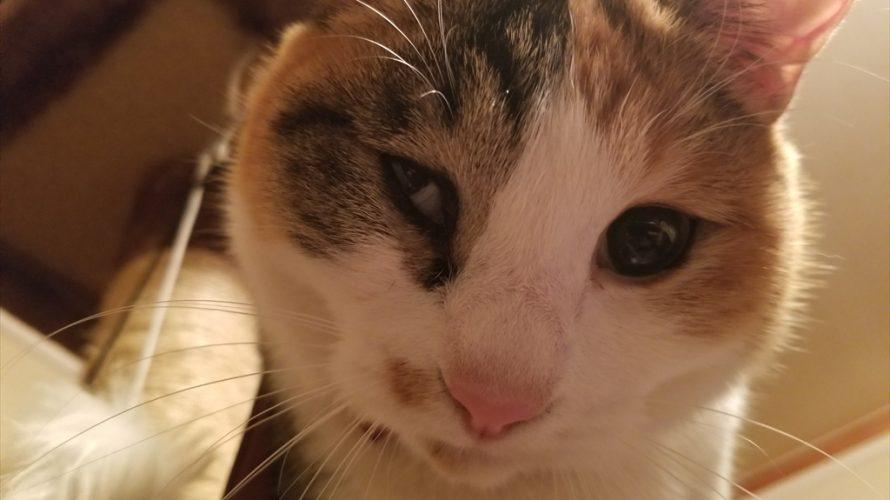 猫の目の病気 ぶどう膜炎にかかった我が家の猫はこうして治療している 前編