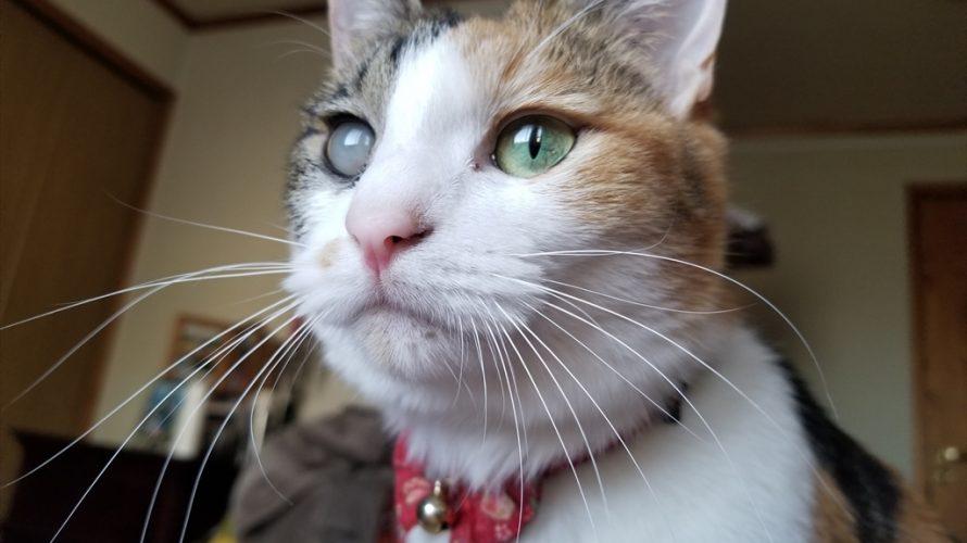 猫の目の病気 ぶどう膜炎 白濁した目からの回復は?! 後編